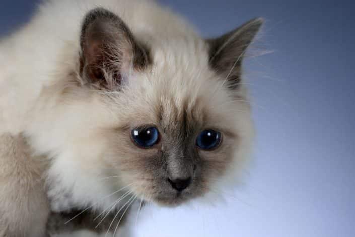 Comportamento sociale del gatto Birmano