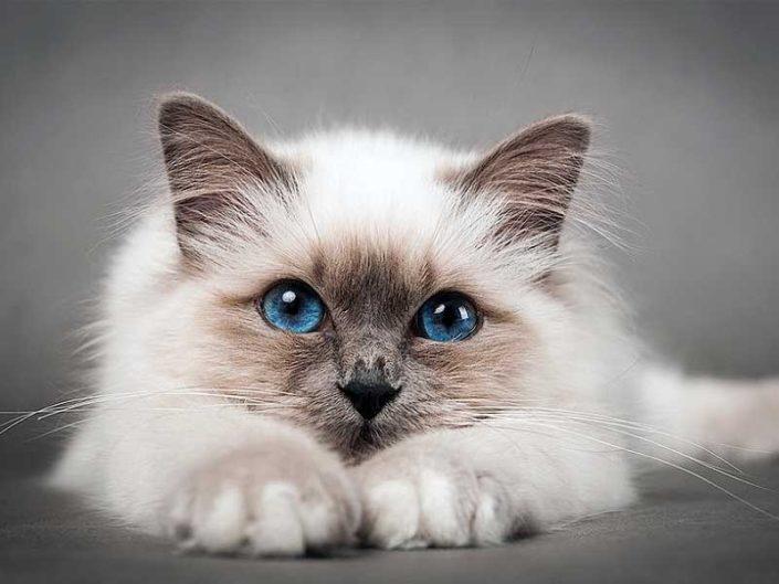 Toxoplasmosi gatto: i rischi per le donne in gravidanza