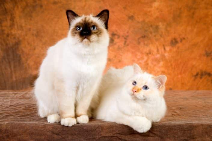 Sacro di Birmania Seal Point: origini del gatto dagli occhi color zaffiro