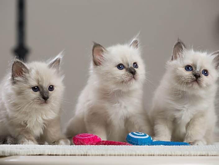 Sacro di Birmania: il gatto ideale per famiglie con bambini