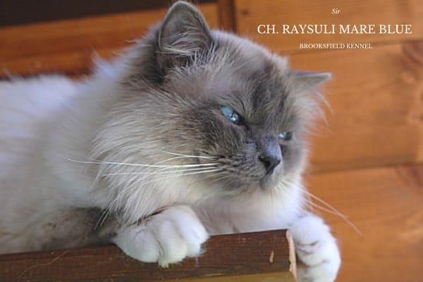 CH. RAYSULI MARE BLUE
