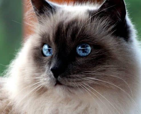 I pregiudizi sul gatto (non solo Birmano)