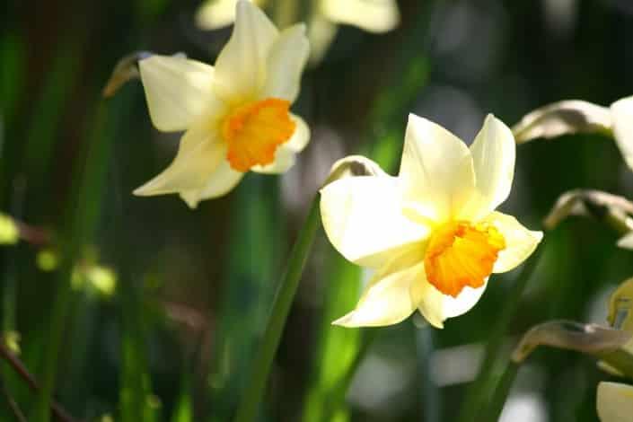 Attenzione al Giglio di Pasqua, e non solo