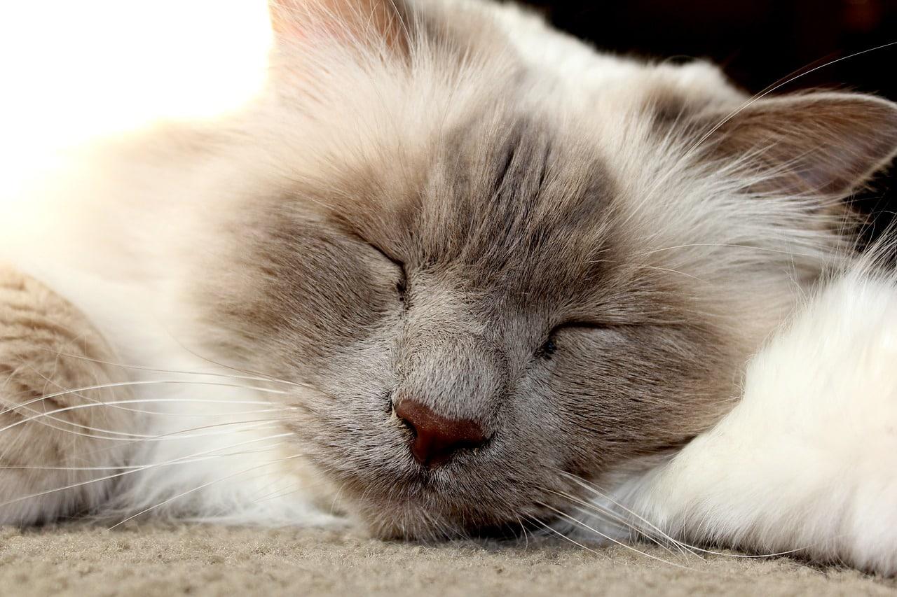 Aiutare Il Gatto A Superare Ansia Da Temporale Mybirmans