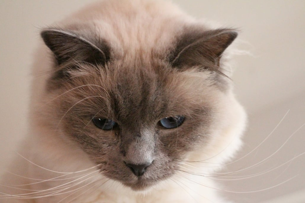 Perchè i gatti fanno le fusa?